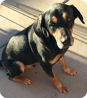 Rottweiler Mix Dog for adoption in Phoenix, Arizona - Barney
