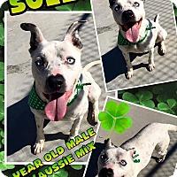 Australian Shepherd/Pit Bull Terrier Mix Dog for adoption in Lexington, North Carolina - Sully