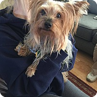 Yorkie, Yorkshire Terrier Mix Dog for adoption in Lorain, Ohio - Gizmo