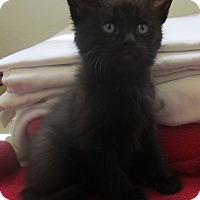 Domestic Longhair Kitten for adoption in Holton, Kansas - Toby