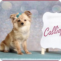 Adopt A Pet :: Calliope - Dallas, TX