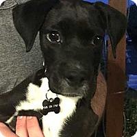 Adopt A Pet :: Socks - Patterson, NY