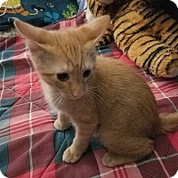 Domestic Shorthair Cat for adoption in St. john, Indiana - Franklin