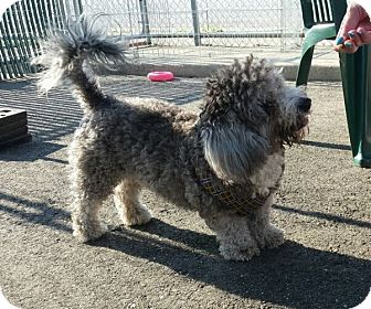 Poodle (Miniature) Mix Dog for adoption in Freeport, New York - Smudge