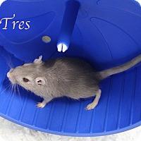 Adopt A Pet :: Tres - Bradenton, FL