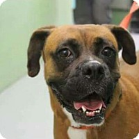 Boxer Dog for adoption in Austin, Texas - Angel Baby X