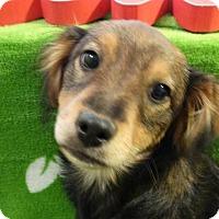 Adopt A Pet :: Linus - Vacaville, CA