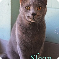 Domestic Shorthair Cat for adoption in Bradenton, Florida - Sloan