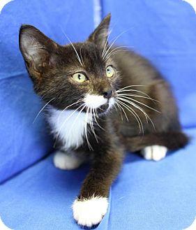 Domestic Shorthair Kitten for adoption in Winston-Salem, North Carolina - Bishop