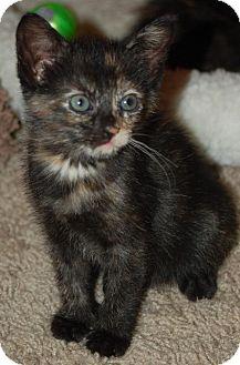 Domestic Shorthair Kitten for adoption in Westfield, Massachusetts - kitten
