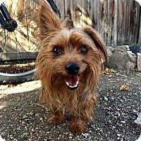 Adopt A Pet :: Susie - Denver, CO