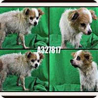 Adopt A Pet :: A327817 - St. Peters, MO
