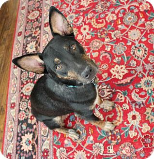Australian Kelpie Mix Dog for adoption in McKinney, Texas - Mack *DIAMOND DOG - $125 ADOPTION FEE*
