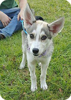 Siberian Husky Mix Puppy for adoption in Baltimore, Maryland - Dakota Adoption Pending Congrats Greenwell Family!