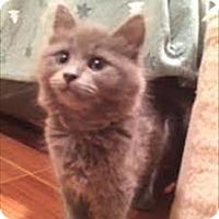 Adopt A Pet :: Expression K7 Aka Silver - Sherwood, OR