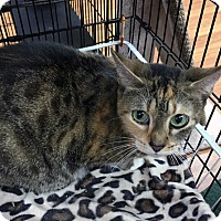 Adopt A Pet :: Noa, Gentle and Beautiful Bengal Mix - Brooklyn, NY