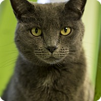 Domestic Shorthair Cat for adoption in Indianapolis, Indiana - Keegan
