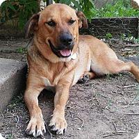 Adopt A Pet :: Sophie - Billings, MT