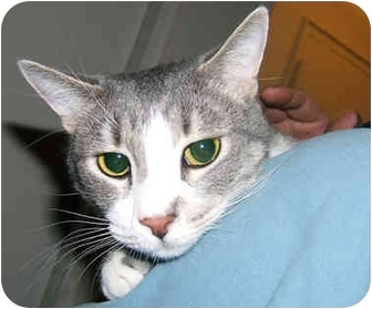 American Shorthair Cat for adoption in New York, New York - Grayce