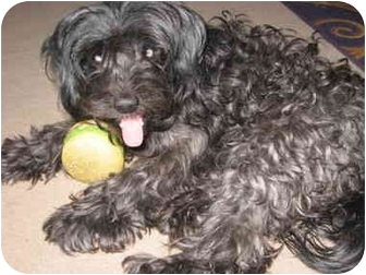 Poodle (Standard) Mix Dog for adoption in Wilmington, Massachusetts - Desophina (Desi)