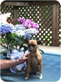 Italian Greyhound/Miniature Pinscher Mix Dog for adoption in Kingwood, Texas - Chelsea