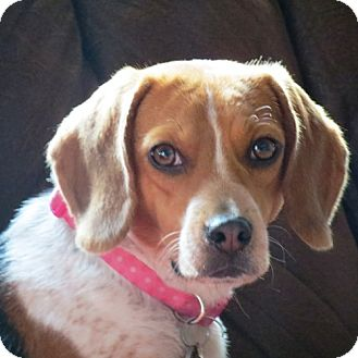 Beagle Dog for adoption in Pittsburgh, Pennsylvania - Shyla
