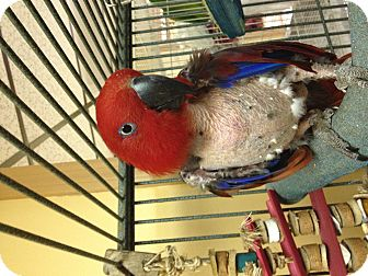 Eclectus for adoption in Punta Gorda, Florida - Ruby