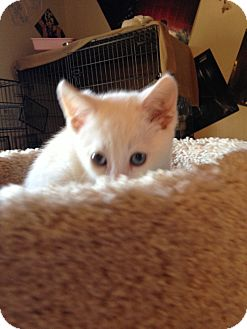 Colorpoint Shorthair Kitten for adoption in Fountain Hills, Arizona - BLITZ