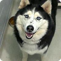 Adopt A Pet :: cieara - cameron, MO