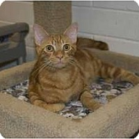 Adopt A Pet :: Cheddar - New Port Richey, FL