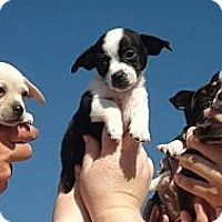 Adopt A Pet :: Puppies listed 2 - Grass Valley, CA