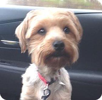 Jingle Belle | Adopted Dog | Atlanta, GA | Yorkie ... Selkirk Rex Atlanta