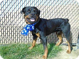 Rottweiler dog for adoption in norco california payton