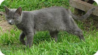 Oriental Cat for adoption in Gonzales, Texas - Kerryn