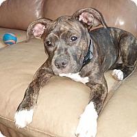 Adopt A Pet :: Biscuit - Las Vegas, NV