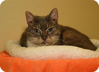 Domestic Shorthair Cat for adoption in Milford, Massachusetts - Archie the Bold