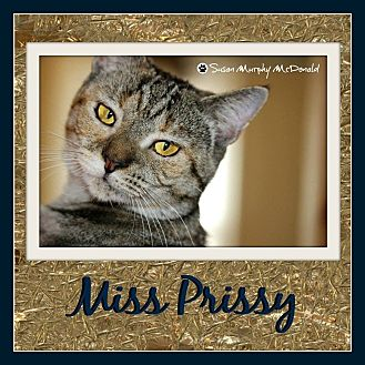 Domestic Shorthair Cat for adoption in Cumbeland, Maryland - Miss Prissy