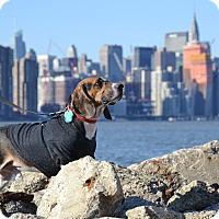 Adopt A Pet :: Bandit - Brooklyn, NY