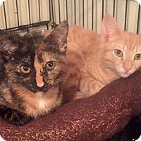 Adopt A Pet :: Hillary & Bernie: Bonded Sibs & Cuddle Candidates - Brooklyn, NY