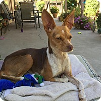 Chihuahua Mix Dog for adoption in Yuba City, California - Iggy