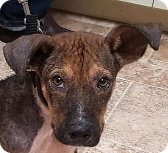 Hound (Unknown Type) Mix Puppy for adoption in Dallas, Texas - Dozer