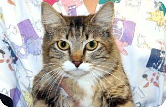 Domestic Mediumhair Cat for adoption in Wildomar, California - Mama Kitty