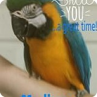 Macaw for adoption in Red Oak, Texas - Madison