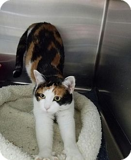 Calico Cat for adoption in Elyria, Ohio - Calli