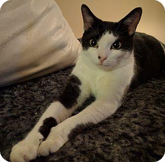 Domestic Shorthair Cat for adoption in Toronto, Ontario - Lexie