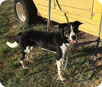 Shepherd (Unknown Type)/Border Collie Mix Dog for adoption in Olympia, Washington - JimmyH