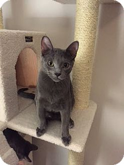 Russian Blue Cat for adoption in McKinney, Texas - Charles Xavier - Courtesy Post