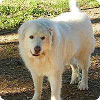Great Pyrenees Dog for adoption in Granite Bay, California - GANNON & GABLE