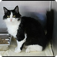Domestic Mediumhair Cat for adoption in Hilton Head, South Carolina - Theola