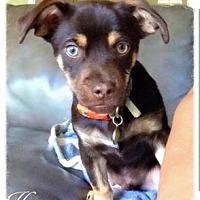 Adopt A Pet :: Henry - Fresno, CA